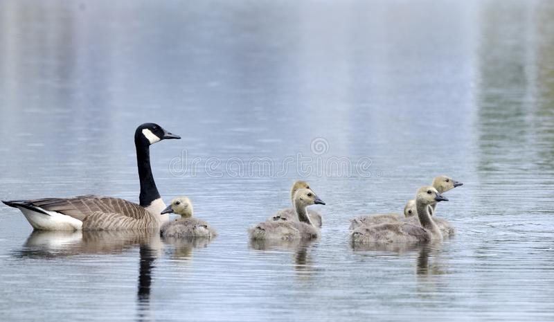 Mãe com os ganso na lagoa azul, Walton County Georgia do ganso de Canadá imagens de stock royalty free