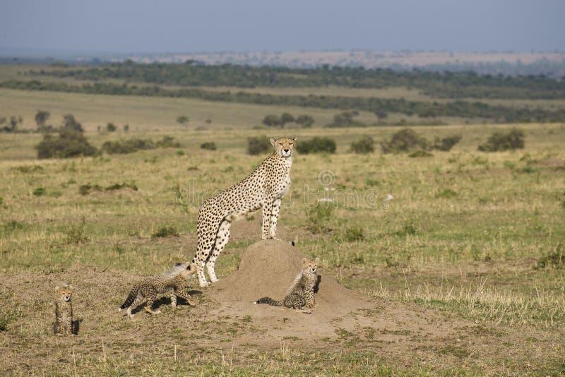 Mãe da chita com os três filhotes no Masai Mra foto de stock