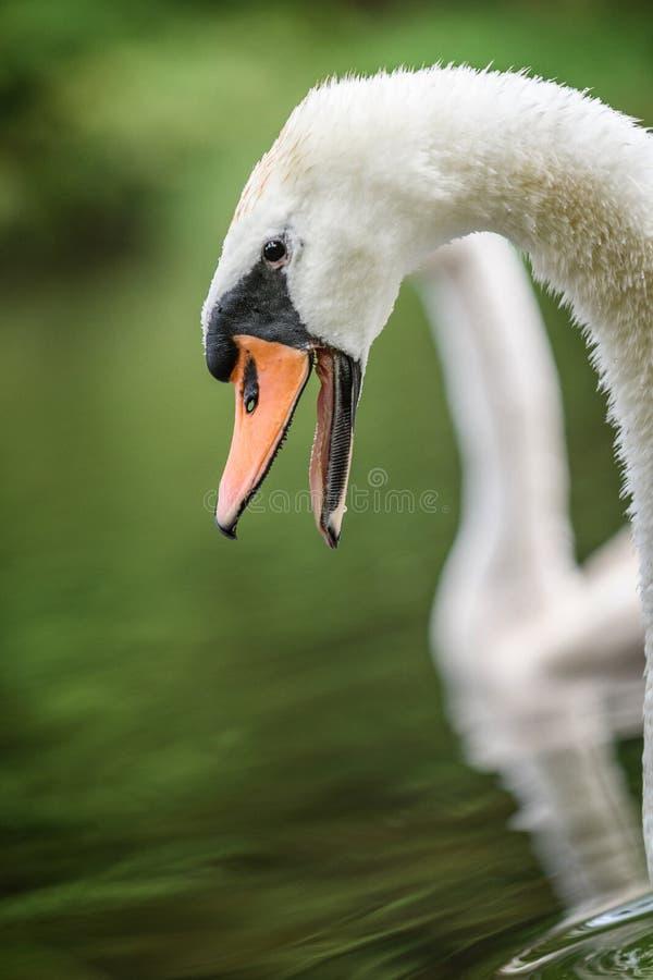 A mãe da cisne protege pintainhos fotografia de stock royalty free