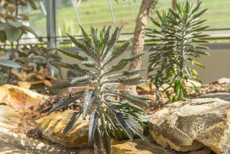 Mãe da planta híbrida de milhões de Madagáscar foto de stock royalty free