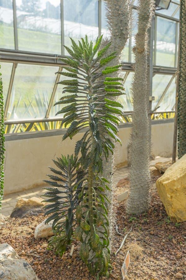Mãe da planta híbrida de milhões de Madagáscar fotos de stock royalty free
