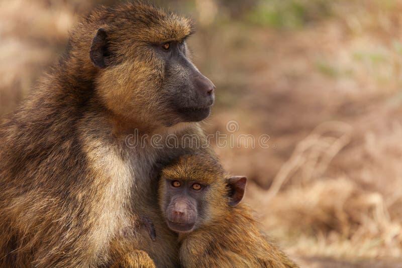 Mãe de Olive Baboon com bebê, Kenya, África imagem de stock