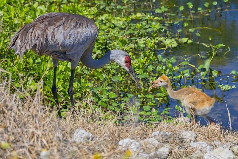 Mãe de Sandhill Crane Baby Eating From Its imagem de stock