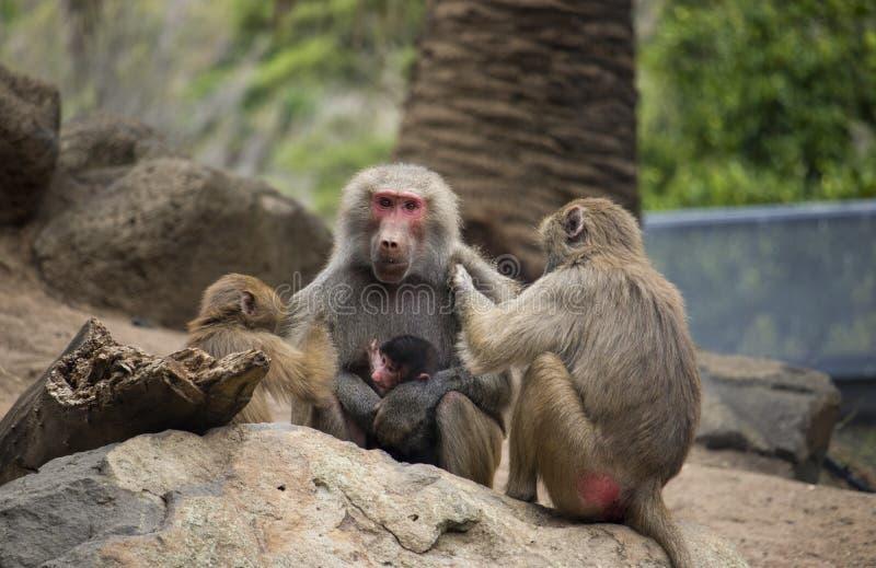 Mãe do babuíno que está sendo preparada por babuínos mais novos imagem de stock royalty free
