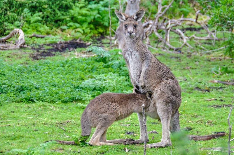 Mãe do canguru e bebê na grande estrada do oceano, Austrália fotografia de stock