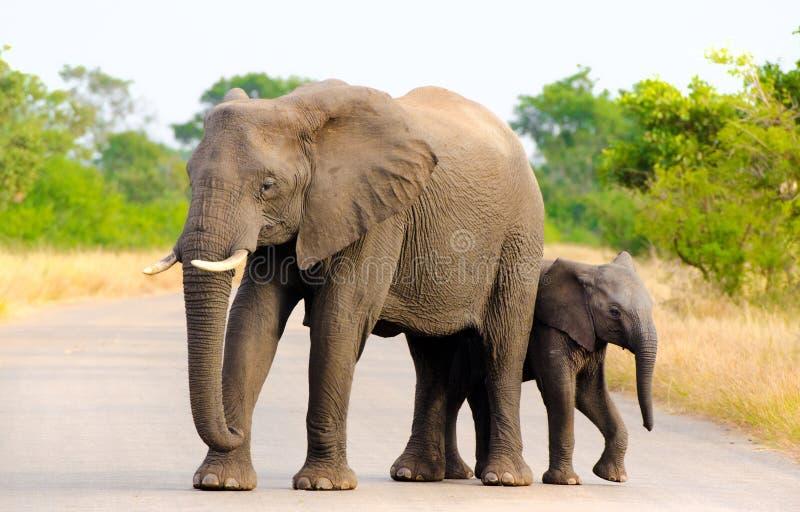 Mãe do elefante africano & vitela, África do Sul imagens de stock