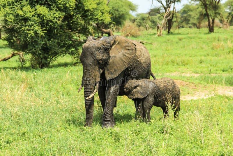 Mãe do elefante com cuidados do bebê imagem de stock royalty free
