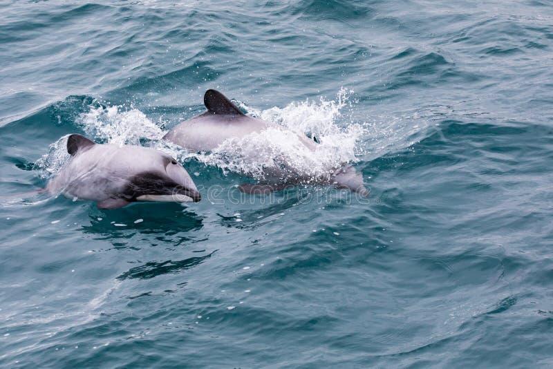 Mãe do hectori de Cephalorhynchus do golfinho do ` s de Hector e vitela, Nova Zelândia fotos de stock royalty free