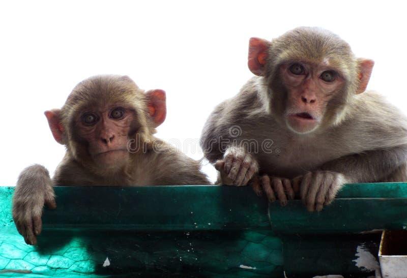 Mãe do macaco de macaque do Rhesus com seu olhar fixamente do filhote deixado perplexo imagem de stock royalty free
