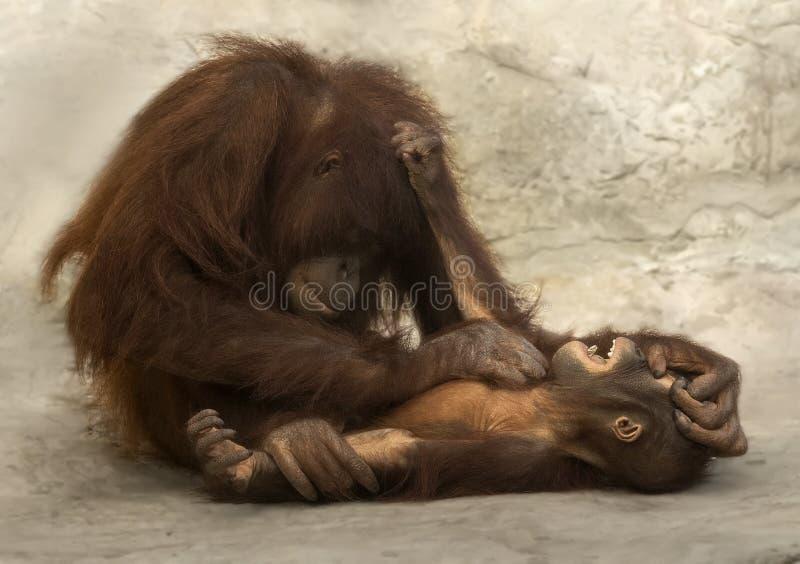 A mãe do orangotango agrada o infante fotografia de stock