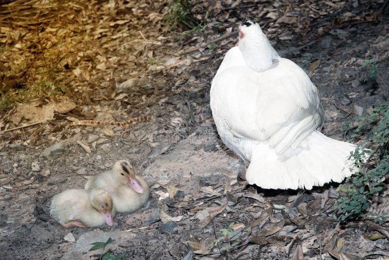 Mãe do pato de Muscovy com patinhos O pato musky fotos de stock royalty free