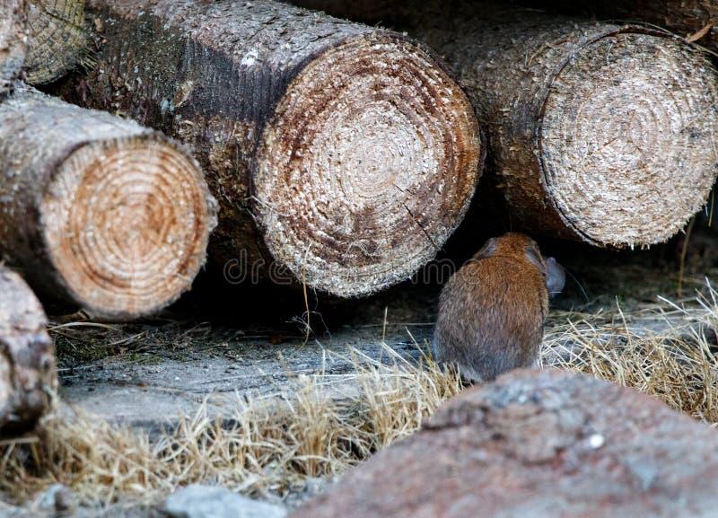 Mãe do rato de Brown que corre na pilha de madeira com seu rato do rato do bebê fotos de stock