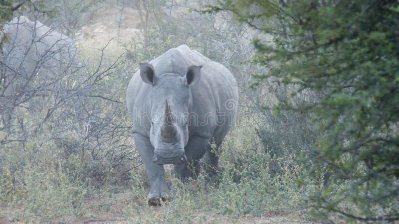 Mãe do rinoceronte imagem de stock royalty free