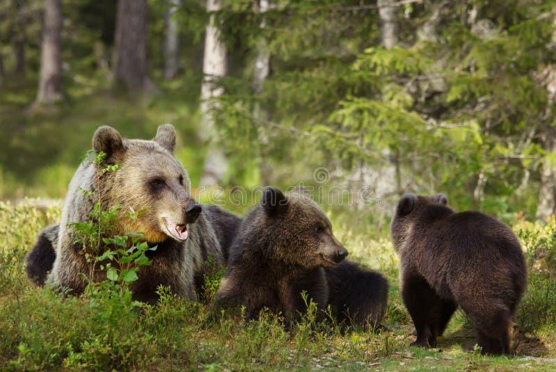 Mãe do urso de Brown com filhotes foto de stock