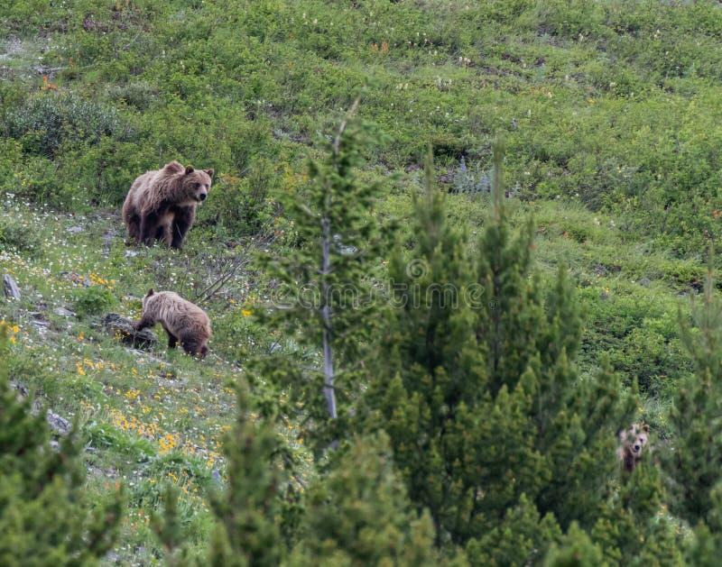 A mãe do urso olha Cub traseiro e mais lento imagens de stock royalty free