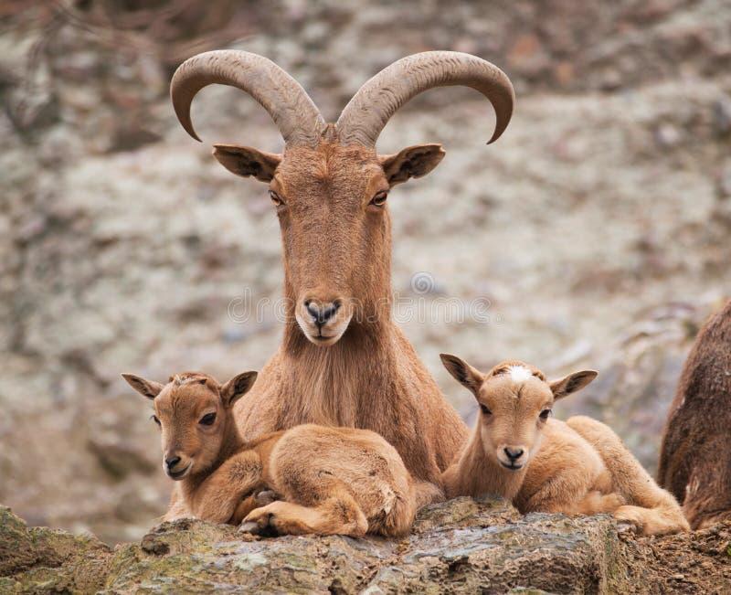 Mãe dos carneiros de Barbary com cordeiros gêmeos fotografia de stock royalty free