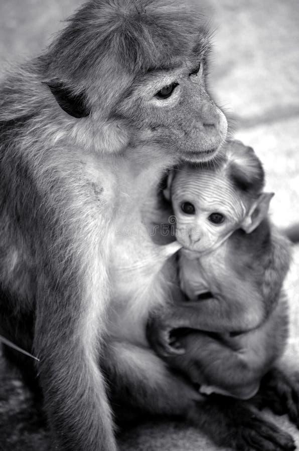 mãe e bebê monky dos shes imagens de stock