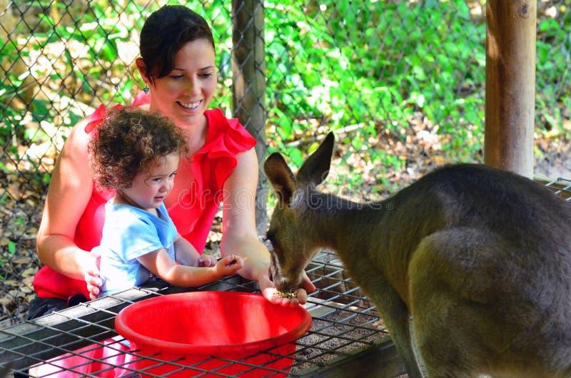 A mãe e a criança alimentam um canguru cinzento em Queensland Austrália fotografia de stock royalty free