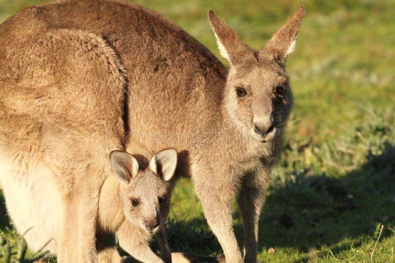 Mãe e Cub do canguru fotografia de stock