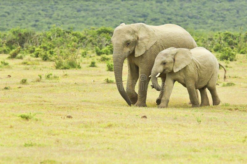 Mãe e elefante africano novo que andam a um furo de água imagens de stock