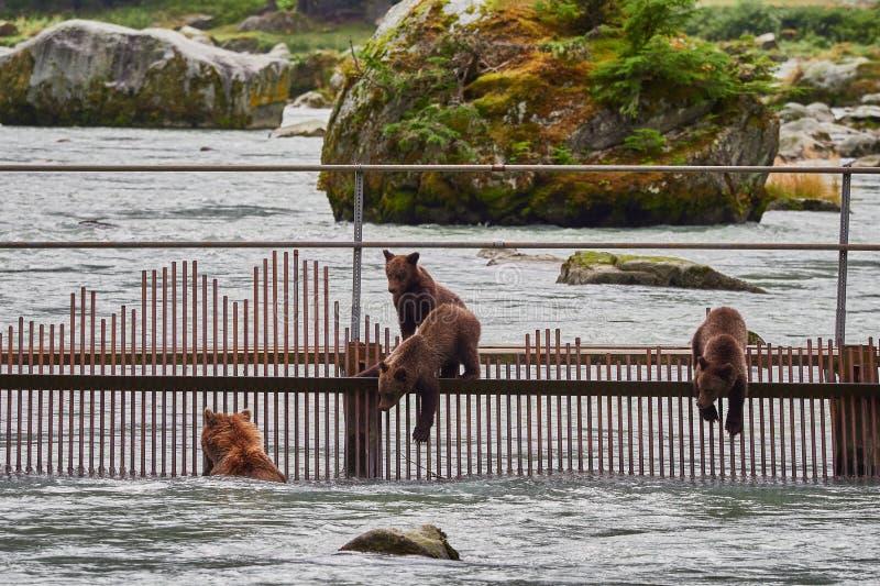 Mãe e filhotes do urso pardo que caçam perto de Haines Alaska fotos de stock royalty free