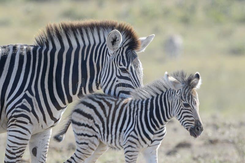 Mãe e potro da zebra das planícies no savana, imagens de stock