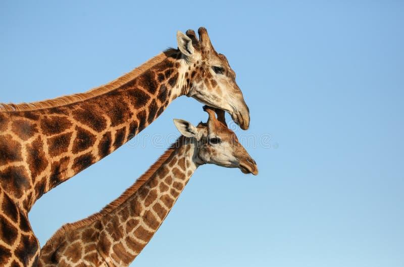 Mãe e prole do girafa em África do Sul imagem de stock
