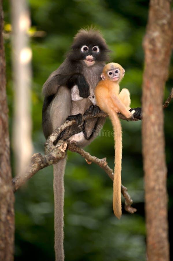 A mãe e seus macacos do bebê são perniciosos (obscura reid de Presbytis). fotografia de stock