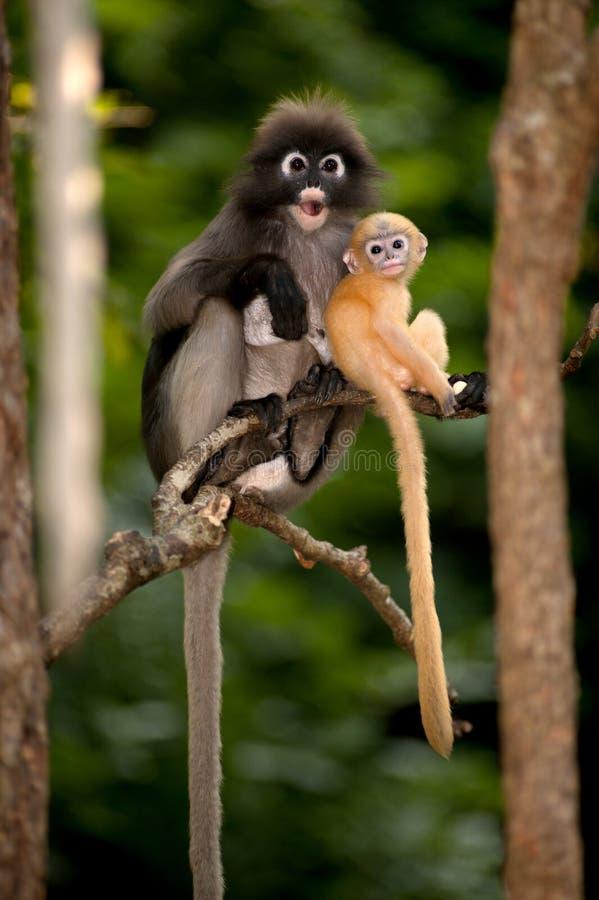 A mãe e seus macacos do bebê são perniciosos (obscura reid de Presbytis). fotografia de stock royalty free