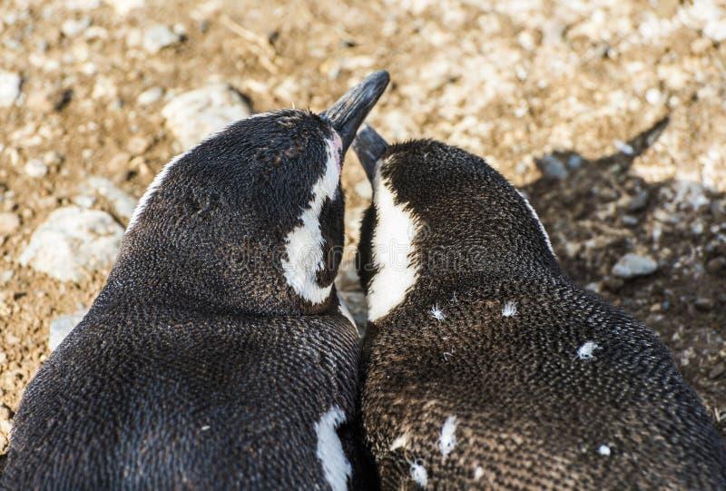 Mãe e um jovem pinguim magelânico na ilha de Madalena, no Chile foto de stock