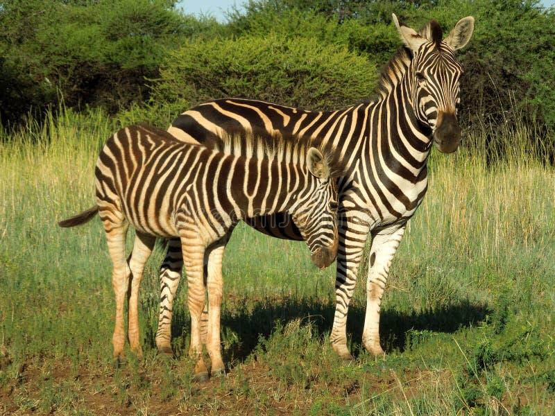 Mãe e vitela da zebra no parque nacional de Kruger imagens de stock