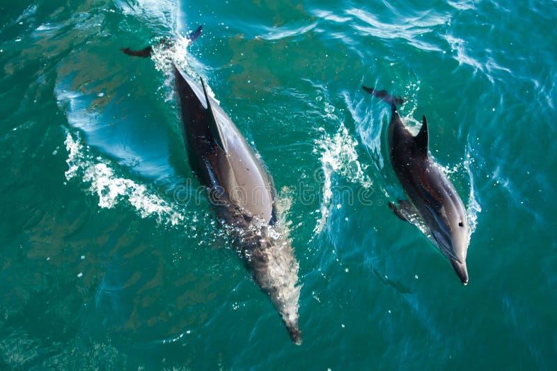 Mãe e vitela do golfinho de Bottlenose imagem de stock