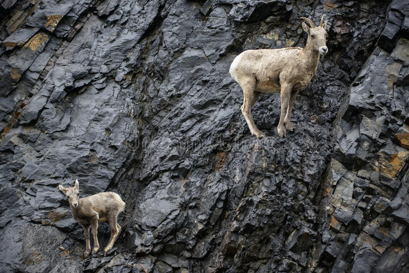 Mãe e vitela dos carneiros de Bighorn fotos de stock royalty free