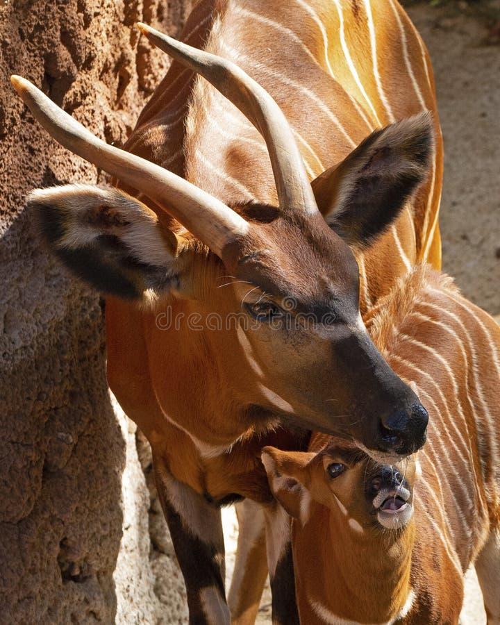 Mãe & vitela foto de stock