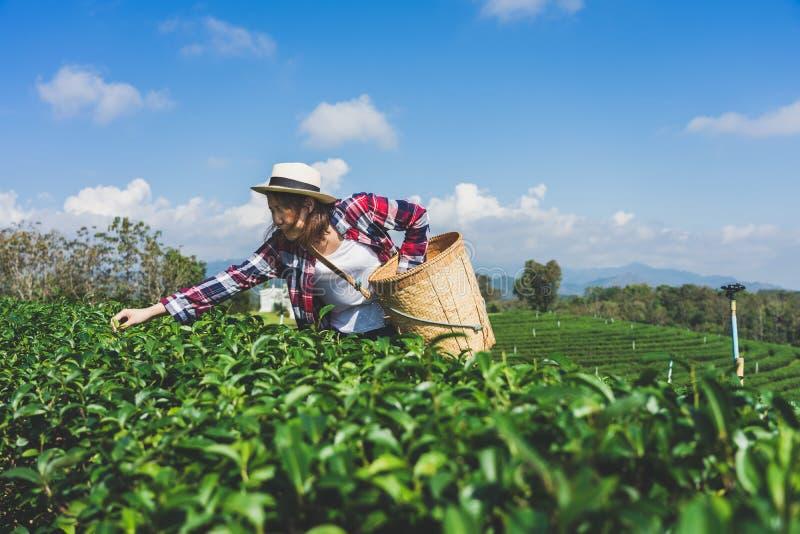 A mão asiática da mulher que pegara as folhas de chá da plantação de chá, os tiros novos é tiros macios A água é um alimento saud imagens de stock royalty free