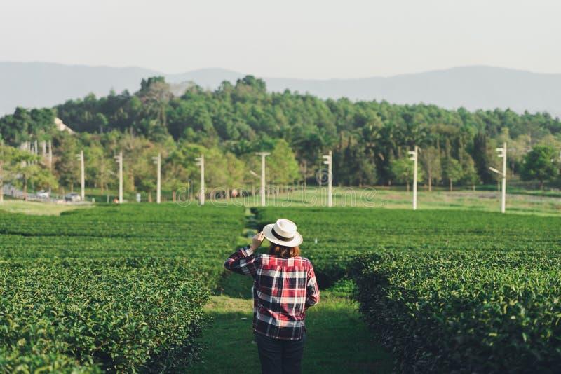 A mão asiática da mulher que pegara as folhas de chá da plantação de chá, os tiros novos é tiros macios A água é um alimento saud fotografia de stock