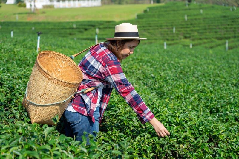 A mão asiática da mulher que pegara as folhas de chá da plantação de chá, os tiros novos é tiros macios A água é um alimento saud fotografia de stock royalty free
