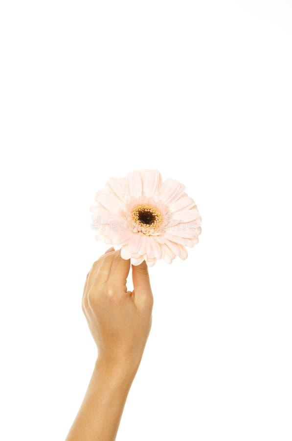 Mão bonita da mulher com gerbera cor-de-rosa fotografia de stock royalty free