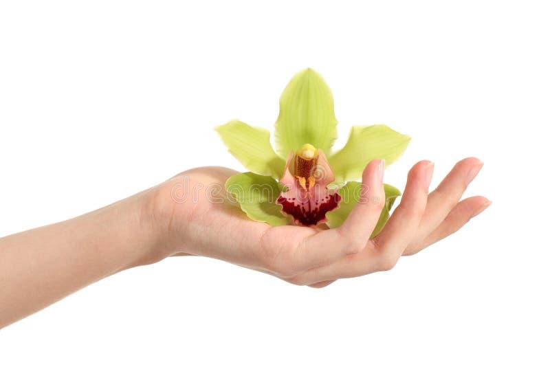 Mão bonita da mulher que guardara uma orquídea verde fotos de stock