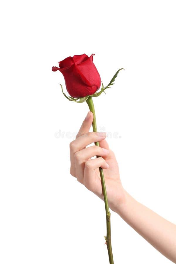 Mão bonita da mulher que guardara uma rosa vermelha foto de stock royalty free
