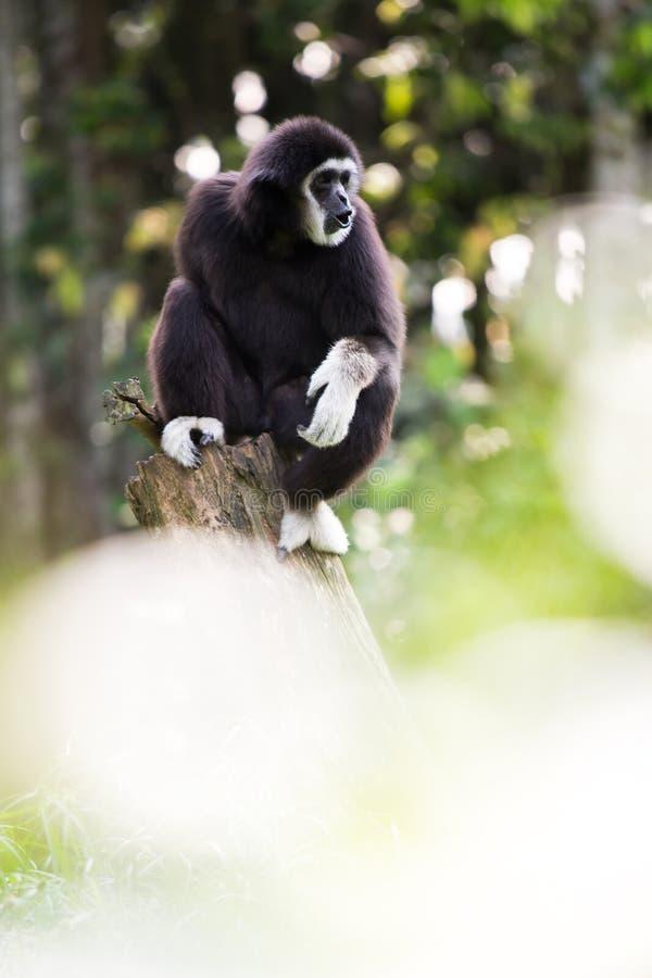 Mão branca Gibbon imagem de stock royalty free