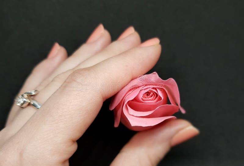 Mão com a única rosa cor-de-rosa sobre o fundo preto Close up da rosa cor-de-rosa macia fotografia de stock