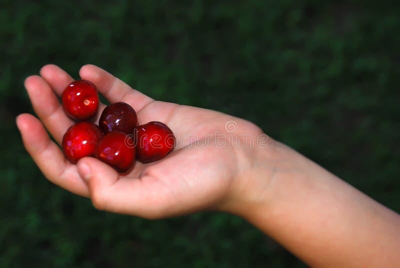 Mão com cerejas foto de stock