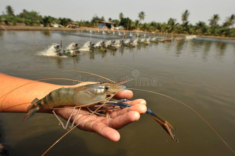 Mão com o camarão de água doce gigante imagem de stock