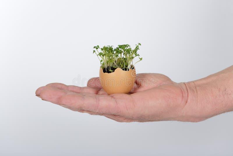 A mão com o ovo com solo e microgreens crescentes imagens de stock