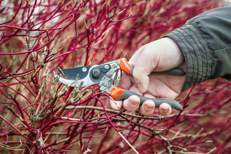 Mão com tesouras do jardineiro fotografia de stock royalty free