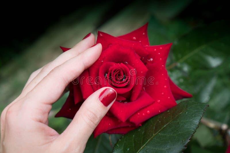 A mão com um tratamento de mãos vermelho toca em um grande botão cor-de-rosa vermelho com gotas do orvalho nas pétalas imagens de stock royalty free