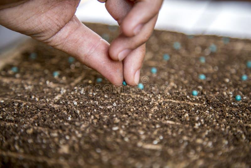 Mão cultive da semente da alface fotos de stock