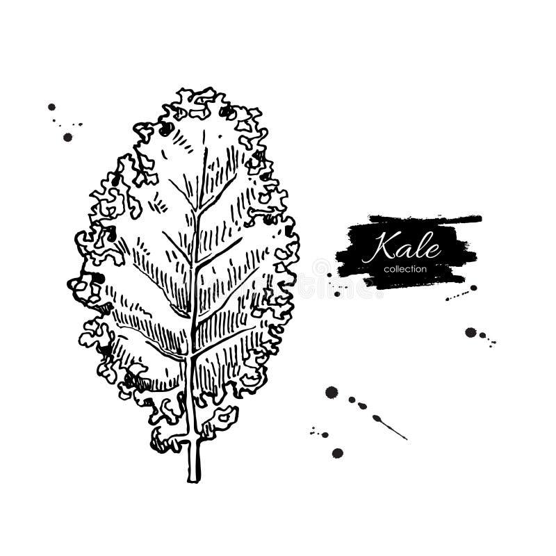 Mão da couve tirada Ilustração gravada vegetal do estilo ilustração do vetor
