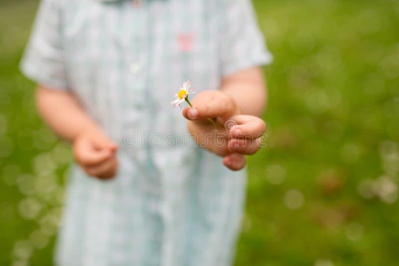 Mão da flor da margarida da terra arrendada do bebê no verão foto de stock royalty free